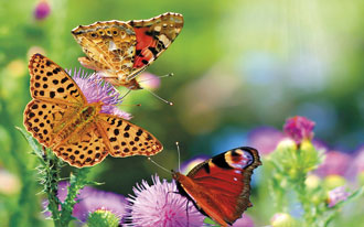 butterflies flying multicolored