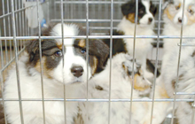 caged-puppies