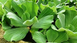 Water_lettuce.png