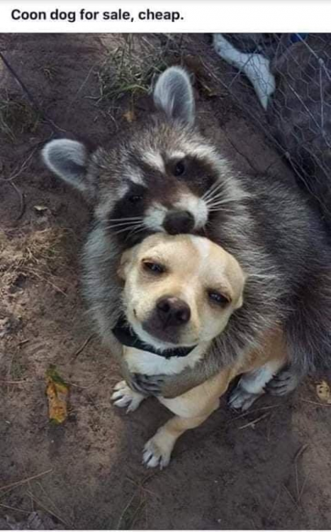 coon dog.png